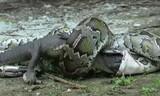 Trăn Miến Điện nuốt chửng cá sấu sau trận kịch chiến