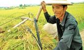 Xuất khẩu gạo hàng đầu thế giới: Nông dân vẫn nghèo