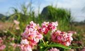 Hoa tam giác mạch phủ hồng các cao nguyên