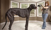 Con chó cao nhất thế giới