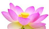 Chọn Quốc hoa: Tôi chọn sen