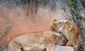 Tình mẫu tử trong thiên nhiên Châu Phi