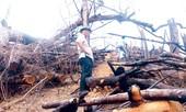 Tận mắt thấy rừng phòng hộ bị tàn sát