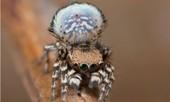 Phát hiện loài nhện công mới hút hồn bạn tình bằng vũ điệu xòe quạt