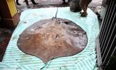 Cá đuối 'khủng' nặng 216 kg từ Thái Lan về Hà Nội