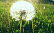 Vẻ đẹp buồn man mác của hoa bồ công anh