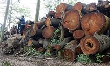 Vụ chặt cây xanh ở Hà Nội: Thu hơn 1 tỷ đồng đấu giá gỗ