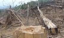 Ai đứng sau các vụ phá rừng phòng hộ ở Quảng Nam?