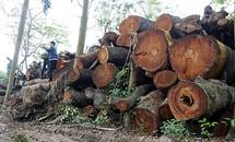 Hà Nội đấu giá gỗ cây xanh bị chặt trên các phố