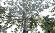 Lát hoa được chọn thay cây mỡ trên đường Nguyễn Chí Thanh