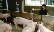 Thịt lợn hơi ở Hà Nội rẻ hơn khoai lang, củ cải
