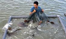 Tỷ phú cá mú nghệ trên vịnh Cam Ranh