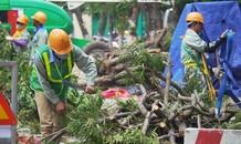 Hà Nội bắt đầu đánh chuyển, chặt hạ 130 cây xanh dọc đường Kim Mã