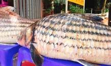 Cặp cá trà sóc nặng gần 1 tạ bắt từ Campuchia đưa về Hà Nội