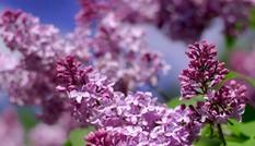 Đẹp dịu dàng hoa tử đinh hương