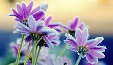 Kiêu sa màu hoa trong băng giá