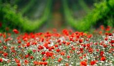 Đẹp hút hồn những cánh đồng hoa