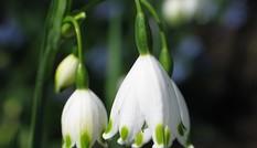 Vẻ đẹp của hoa snowdrop