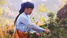 Săn đại lão trà trên đỉnh Tây Côn Lĩnh