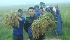 Đoàn Thanh niên giúp dân gặt lúa, chạy bão