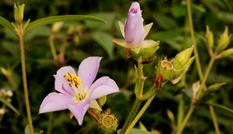 Loài hoa chữa được bệnh phụ khoa