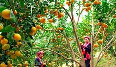 Nét đẹp văn hóa của đặc sản truyền thống cam sành Hàm Yên