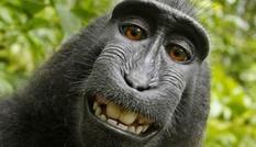 Đoạn kết của vụ kiện bản quyền ảnh tự sướng của... khỉ