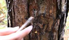 Điều tra vụ đầu độc hàng trăm cây thông bằng thuốc diệt cỏ