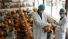 Kon Tum: Xuất hiện dịch cúm gia cầm A/H5N6