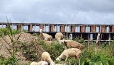 Khu đô thị lớn nhất Cần Thơ thành chỗ chăn cừu