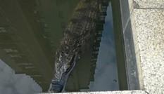 Người đàn ông thả cá sấu vào bể nước khu phố