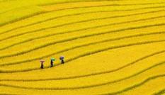 Mù Cang mùa lúa chín – tuyệt mỹ sóng vàng trên non