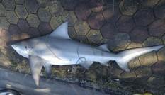 Thực hư chuyện cá mập xuất hiện tại Vịnh Hạ Long