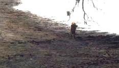 Đã gãy chân đau đớn, linh cẩu còn rơi đúng vào bẫy của sư tử
