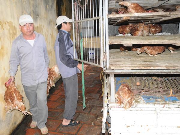 Bắt xe tải chở nửa tấn gà lậu tuồn về Hà Nội