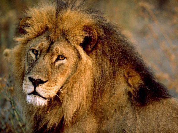 """Sư tử tấn công một đôi nam nữ đang """"mây mưa"""" trong bụi rậm ở Châu Phi"""