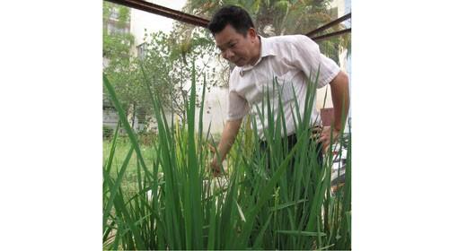 Tiến sĩ Phạm Xuân Hội bên các cây lúa đang lên đòng và chuẩn bị trổ bông