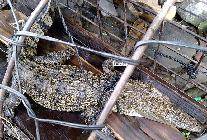 Bắt được cá sấu cạnh quán cà phê