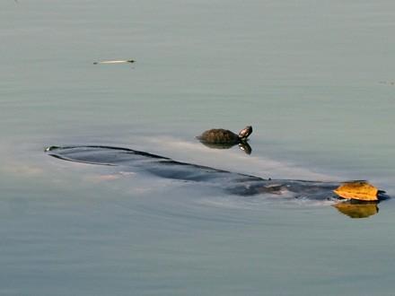 """Rùa tai đỏ đe dọa sinh tồn của """"Cụ Rùa"""""""