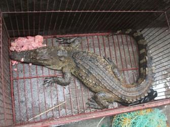 Hà Nội: Bắt được cá sấu trong mương nước