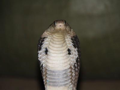 Đột nhập làng nuôi rắn hổ chúa