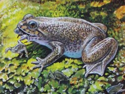 Nhân bản loài ếch sinh sản từ miệng đã tuyệt chủng