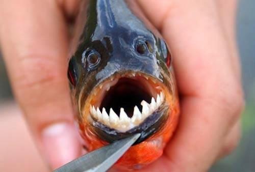Kinh hoàng loài cá cắn đứt cả kim loại