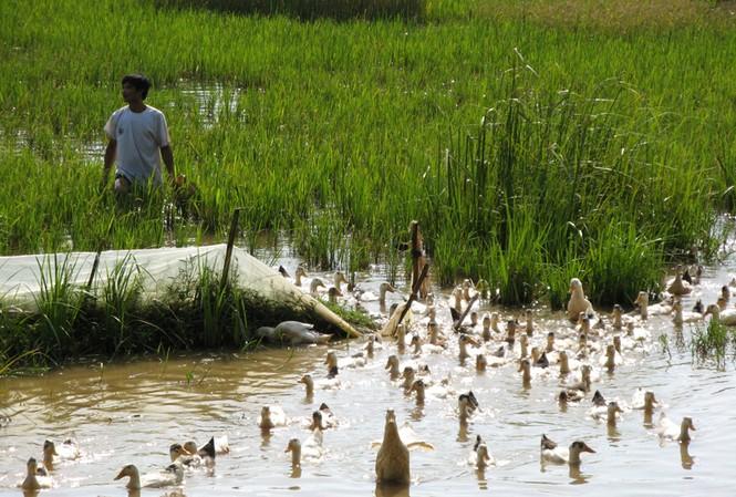 Dịch cúm gia cầm trên đàn vịt chiếm hơn 80% Ảnh: Phạm Anh