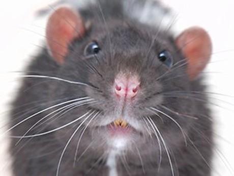 'Siêu chuột' to như mèo vì nhiễm phóng xạ