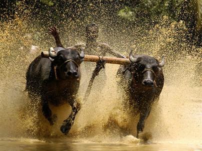 Độc đáo lễ hội 'lướt' bò ở Ấn Độ