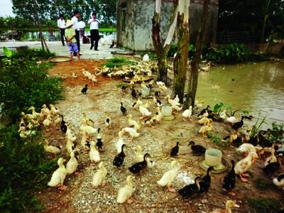 Nhiều hộ dân đang chuyển hướng sang chăn nuôi gia cầm Ảnh: P. Anh