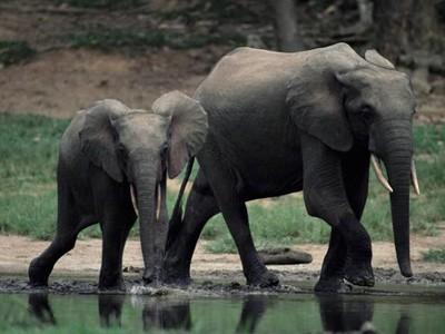 Ăn 'của quý' voi giúp tăng khả năng đàn ông?