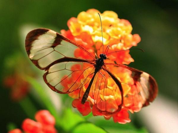 Lạ với loài bướm trong suốt đẹp lung linh