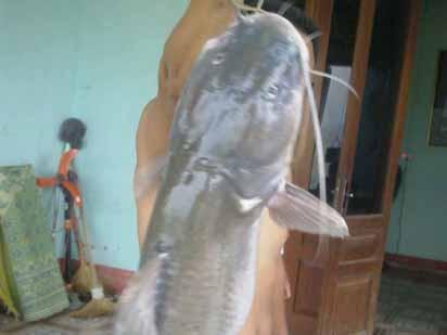 Bắt được cá lăng 'khủng' nặng 54kg trên sông Lô